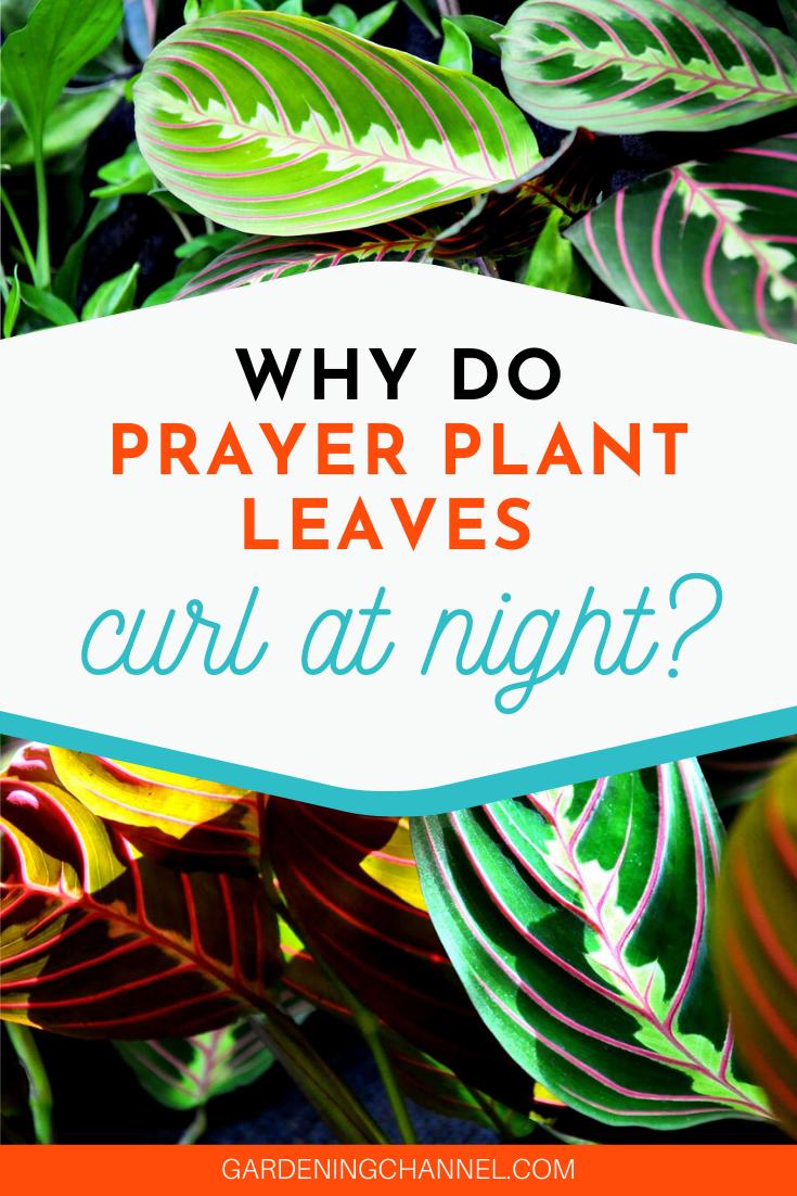 How To Grow Prayer Plant Maranta Houseplant Gardening Channel Prayer Plant Plants Growing Plants Indoors