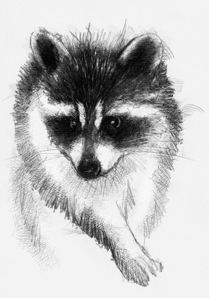 Рисование картинки енота