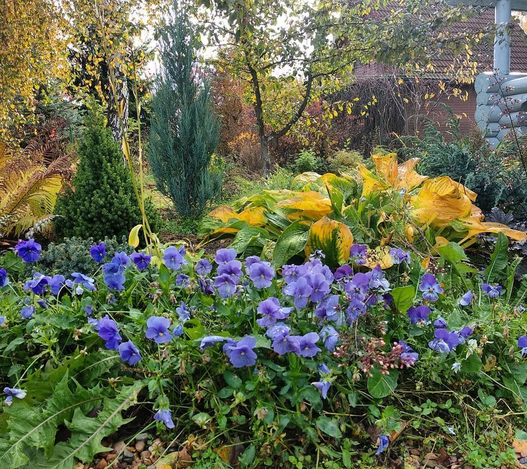 Fialki Dachnyezarisovki Osenneenastroenie Mojlyubimyjsad Hvojnye Sadsvoimirukami Color Zagorodnyjdom Sadovyjdizajn Ideidlyasada Krasivyjsad Autumn Plants