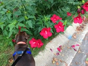"""Let's Go For A Sniff Walk  Did you know that by taking your dog on a """"sniff walk,"""" that the mental stimulation it provides is actually comparable to physical exercise? And the best part is that you don't have to walk nearly as far or as fast to accomplish it!"""
