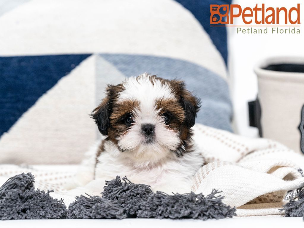 Petland Florida Has Shih Tzu Puppies For Sale Check Out All Our Available Puppies Shihtzu Petlandpembrokepines P Puppy Friends Shih Tzu Puppy Dog Lovers
