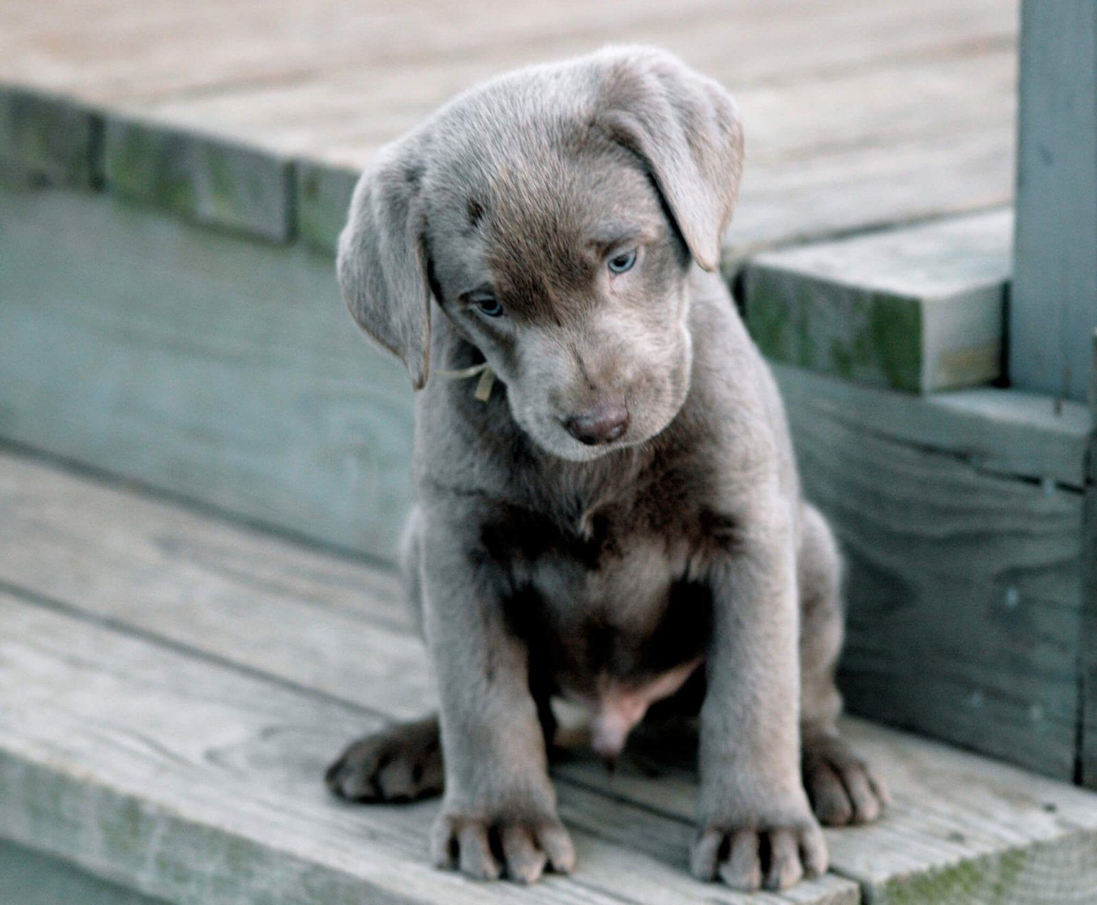 The 14 Best Things About Owning A Labrador Retriever