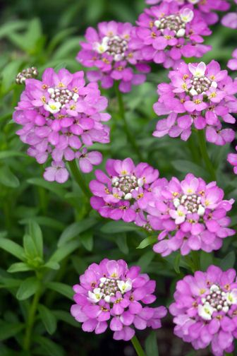 Absolutely amethyst candytuft monrovia large clusters of purple absolutely amethyst candytuft monrovia large clusters of purple flowers dotted with tiny yellow stamens blanket the evergreen foliage in late mightylinksfo