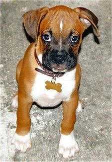 Boxer Puppy Dogs - I WANT ONE!!! I miss my Jazzy girl