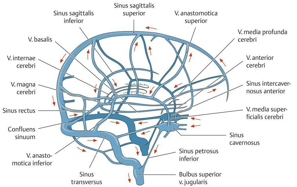 Sinus System | Anatomie | Pinterest