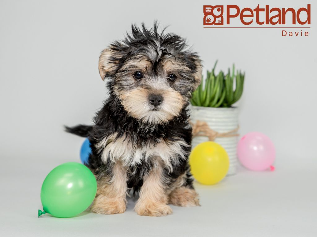 Petland Florida has Morkie puppies for sale! Interested in