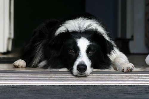 Pin On Border Collies And Other Reasons For Living