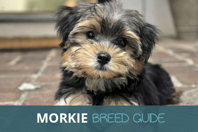 Morkie (Maltese Yorkshire Terrier Mix) Facts, Advice and
