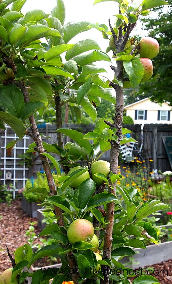 Apple Trees That Grow In Pots Potted Trees Plants Under Trees Fruit Trees