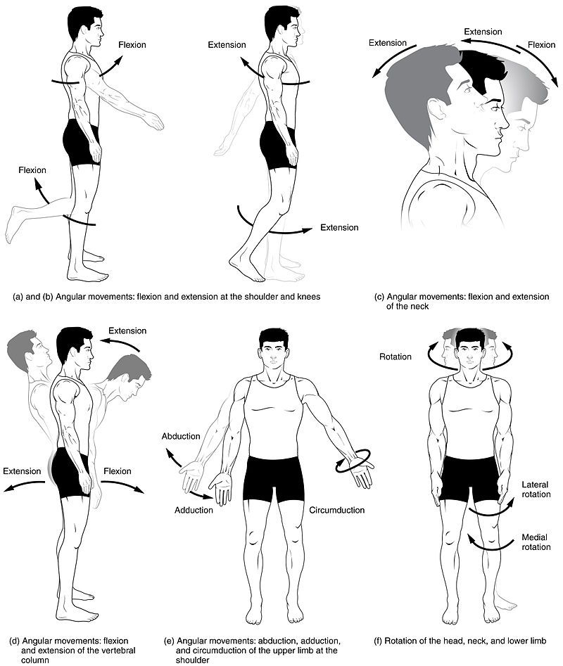Wikipedia: Anatomical Terms of Motion | ace | Pinterest | Physical ...