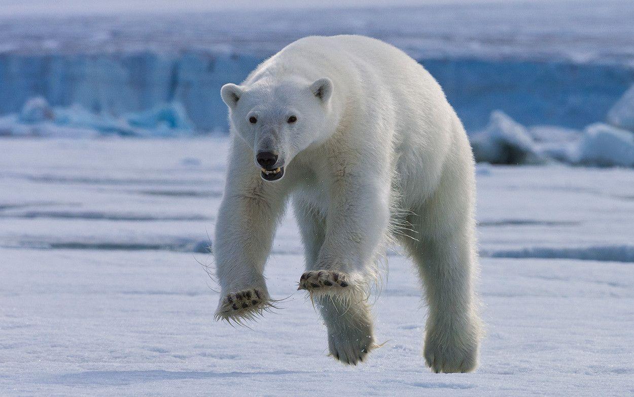 Polar bear in mid-leap, on the island of Spitsbergen, Svalbard. (i.imgur.com)