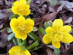 Kuvahaun tulos haulle kevät kukat