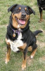 Adopt Bella And Rosalee On Rottweiler Puppies Rottweiler Dog