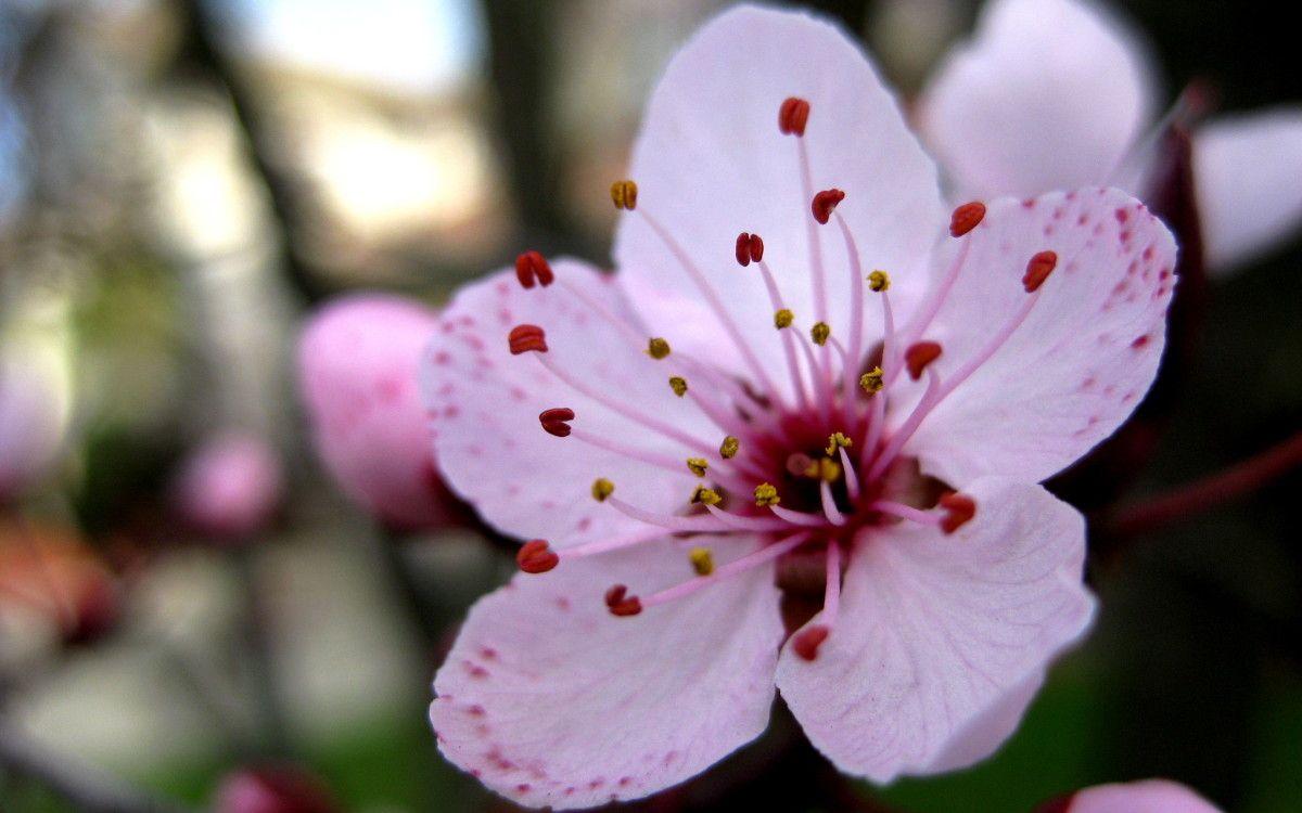 Sakura Flower In Full Bloom Hd Wallpapers