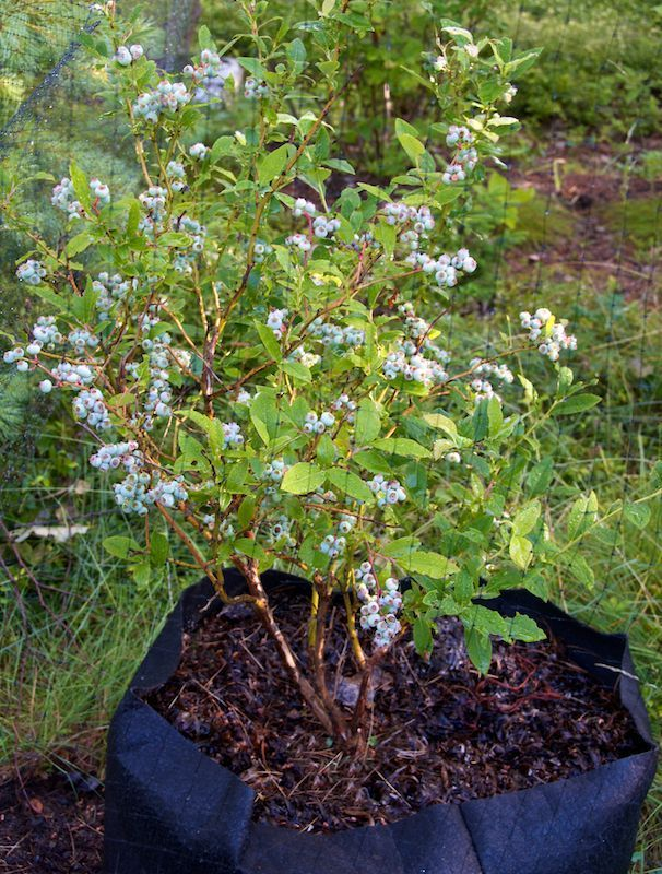 10 Thing You Need To Know Grow Blueberries In Pots