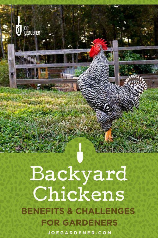 Backyard Chickens: Benefits & Challenges for Gardeners in ...