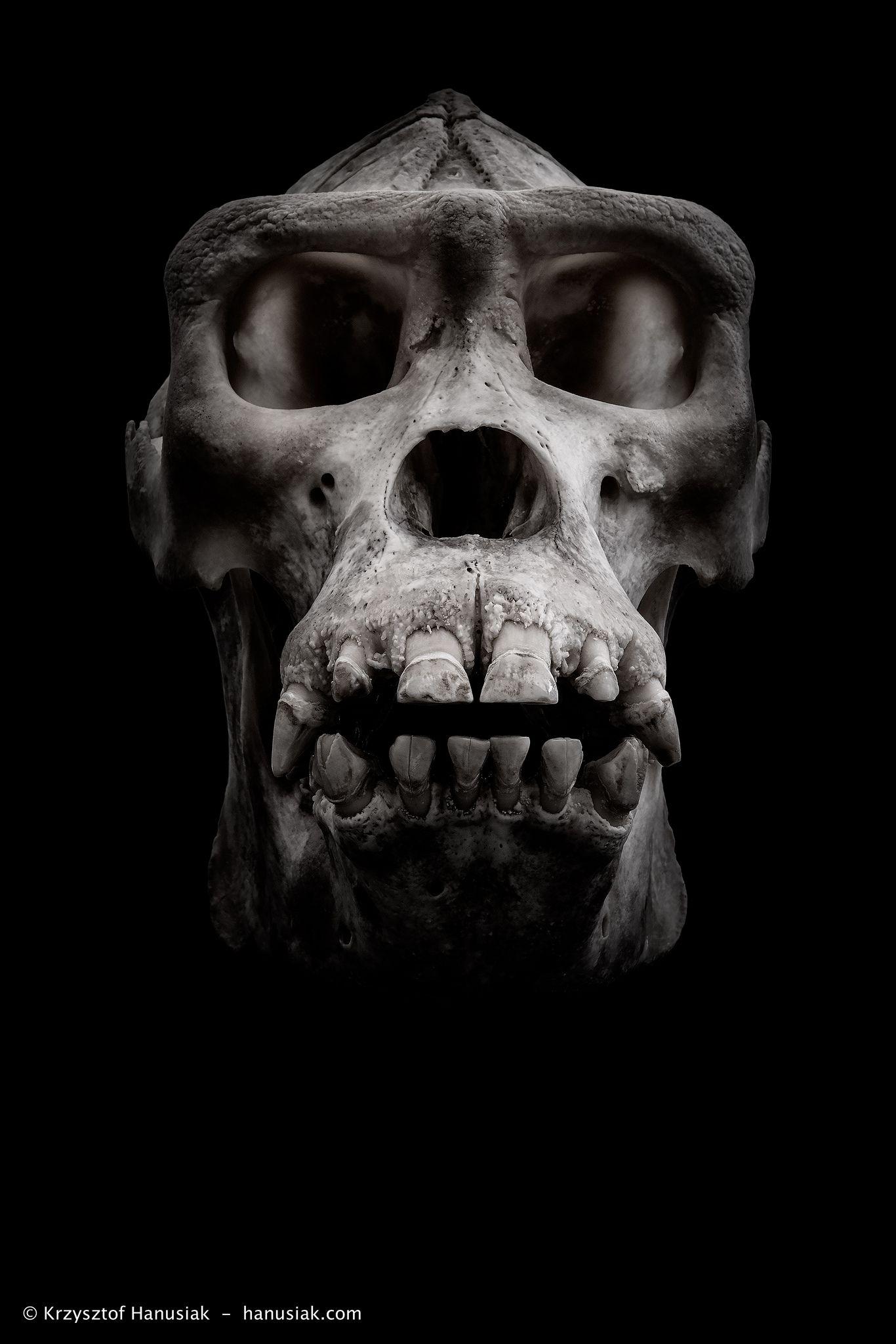Gorilla Skull | Pinterest | Anatomy, Animal skulls and Animal anatomy