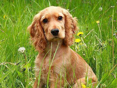 The Cocker Spaniel Is A Medium Sized Sturdy Dog Origin United States Life Span 12 14 Years Hypoal Dog Breeds Medium Hypoallergenic Dogs Medium Dog Breeds