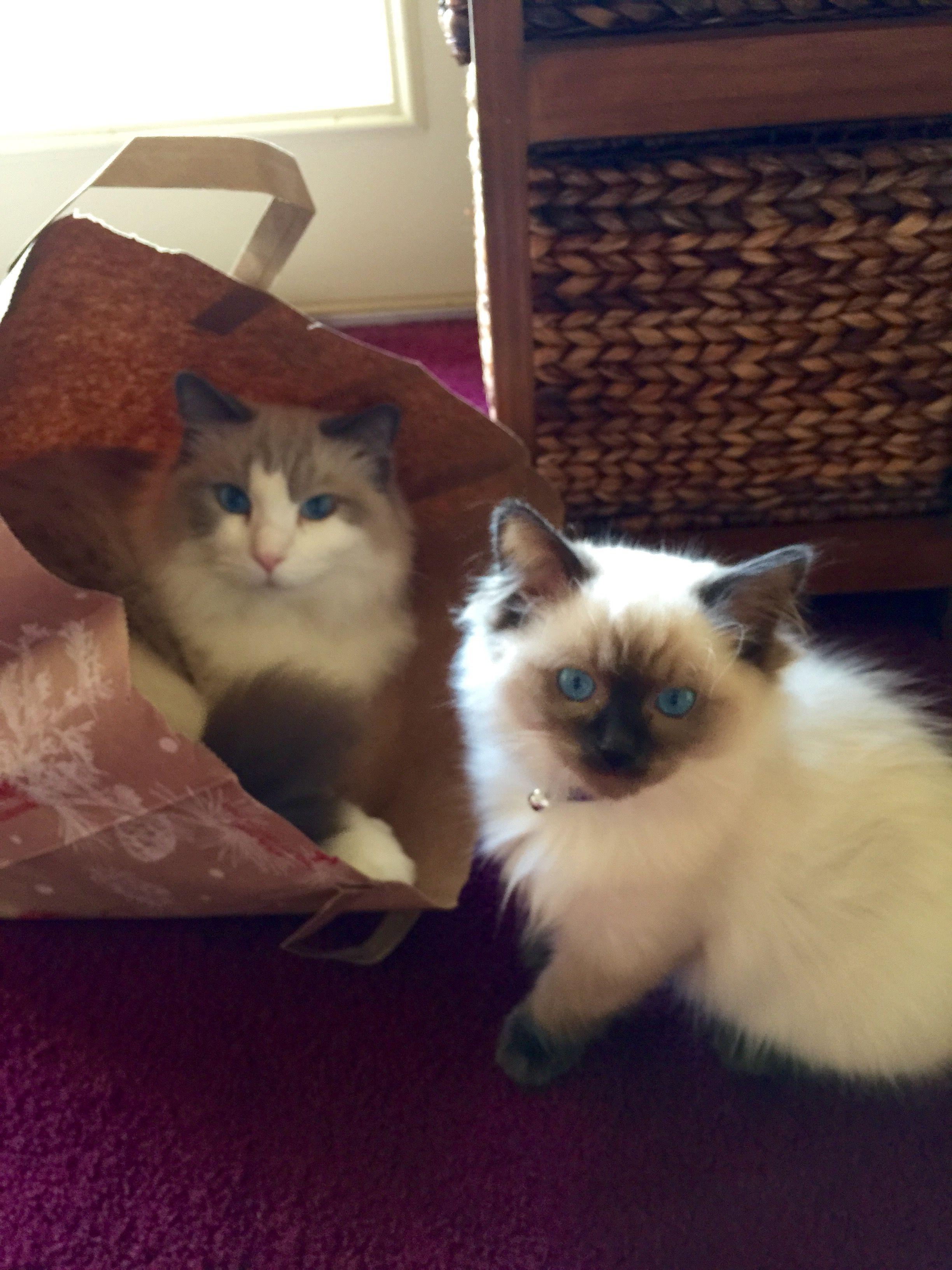 My Boys Bourdeaux The Blue Bicolor And Gourmet Truffles A 14 Week Sealpoint Ragdoll Cat Ragdoll Kitten White Ragdoll Cat