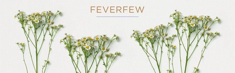Feverfew Filler Flowers Bouquet Types Of Flowers Flowers