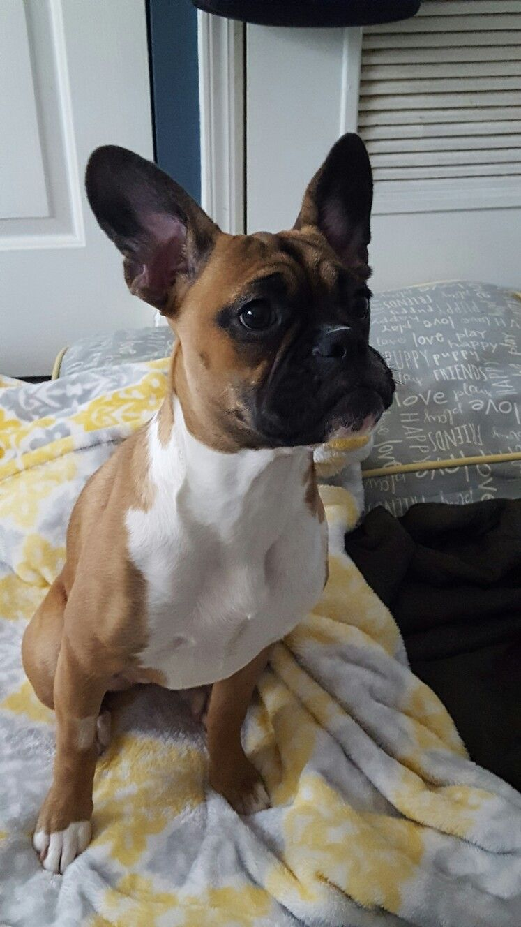 boxer french bulldog mixall ears ;) | furbabies | boxer mix