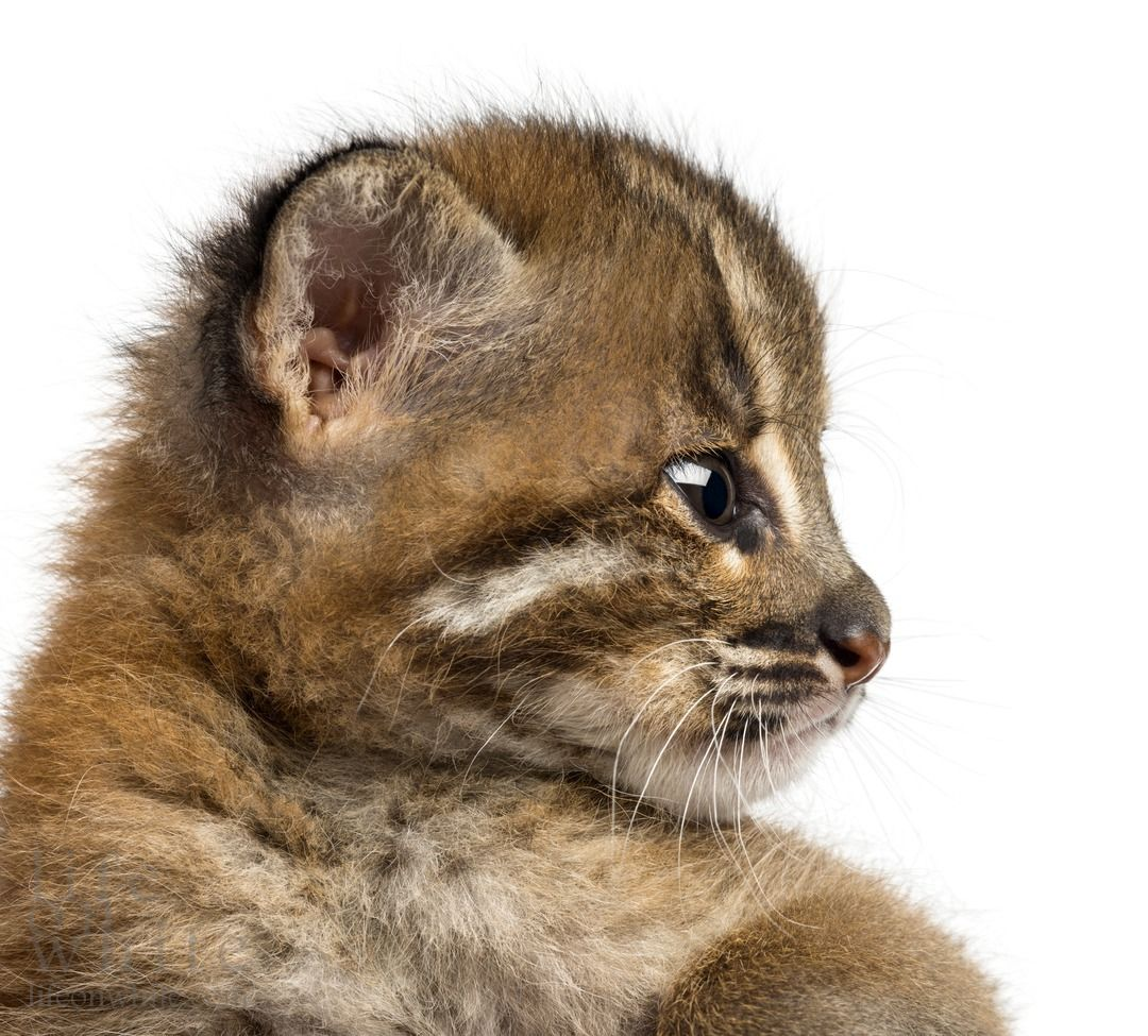 UPDATE! Allwetter Zoo's Asian Golden Cat Twins Ready for