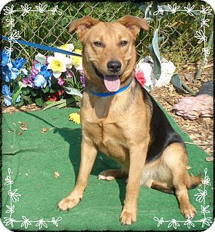 Marietta, GA - Shepherd (Unknown Type) Mix. Meet PRINCE, a dog for adoption. http://www.adoptapet.com/pet/12921755-marietta-georgia-shepherd-unknown-type-mix