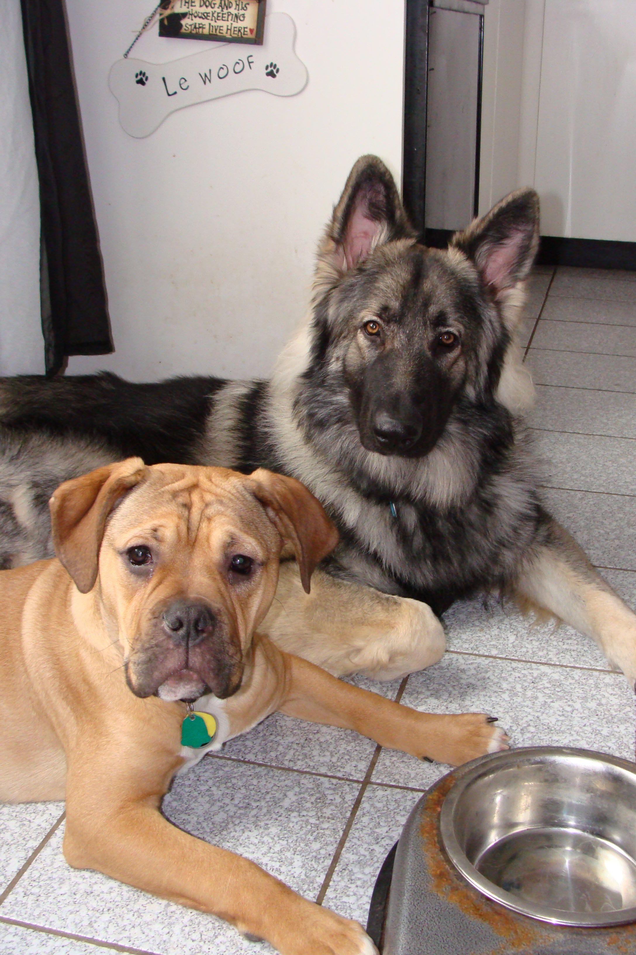 Old English Bulldog Yogi and his best friend, Shylo