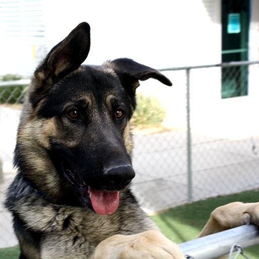 *TITAN - ID#A682793    Shelter staff named me TITAN.    I am a male, black and tan German Shepherd Dog.    The shelter staff think I am about 3 years old.    I have been at the shelter since Nov 09, 2012.