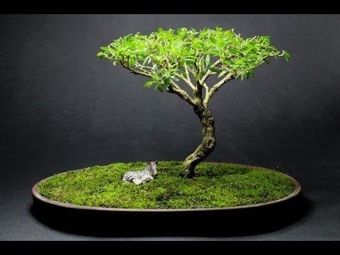 African Style Serissa Foetida Bonsai April 2015 Bonsai Tree Bonsai Art Indoor Bonsai Tree