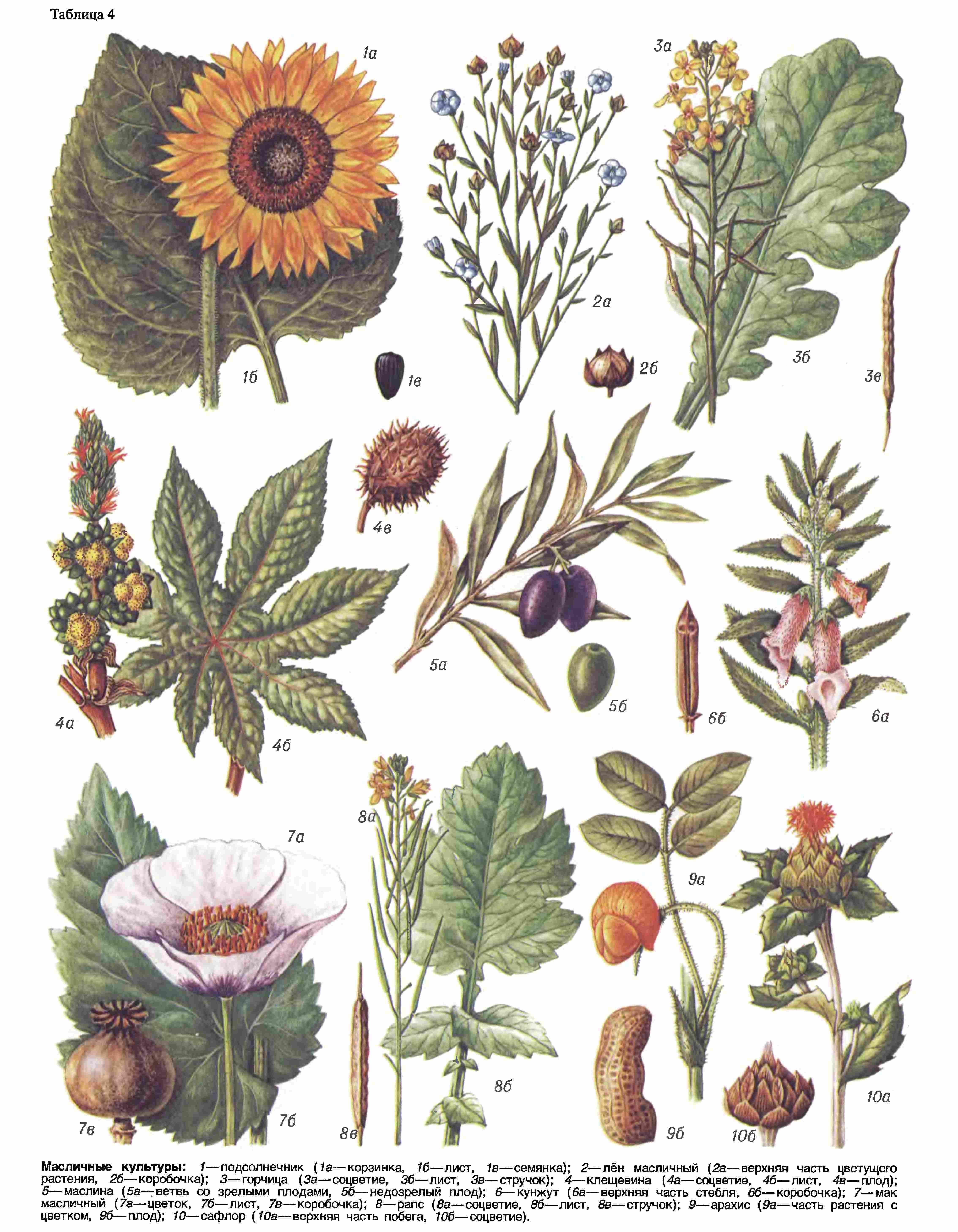 Масличные растения фото и названия