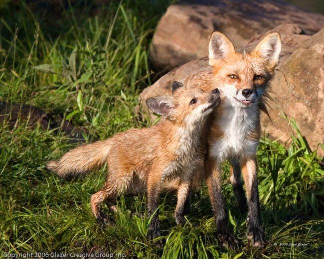"""Fox Mother with Baby, No.1""   Carol GlazerPhotography."