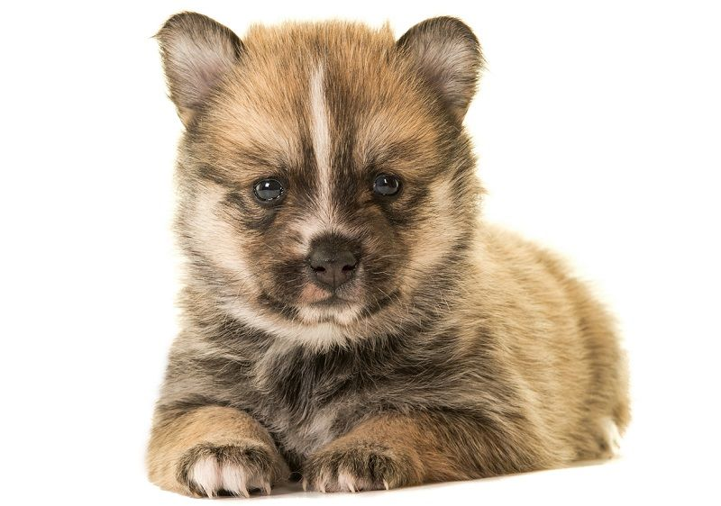 Pomeranian Husky Pomsky Price Pictures Breeders Information