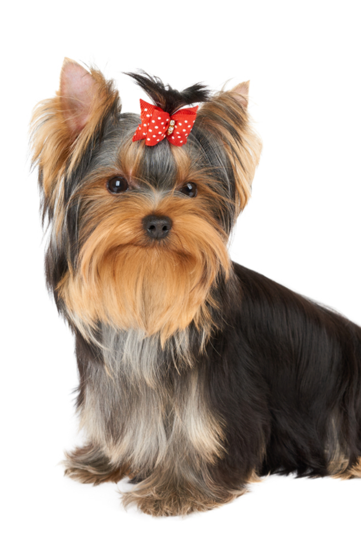 Puppy Of The Yorkshire Terrier With Red Hair Bow Yorkshireterrier Yorkshire Terrier Puppies Yorkshire Terrier Terrier