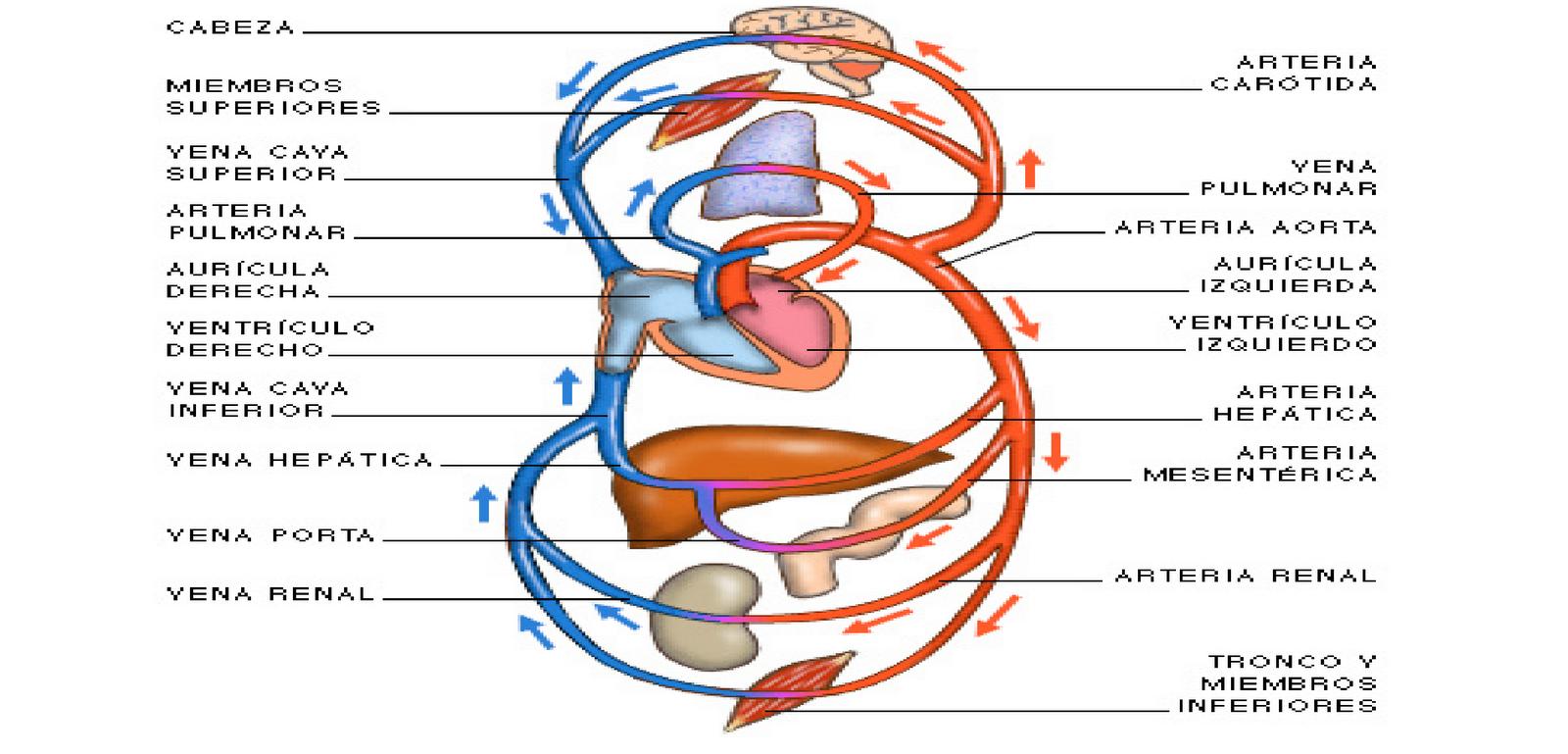 Esquema Doble Circulacion Humanos Funciones De Nutricion Nutricion En Animales Ventriculo Izquierdo