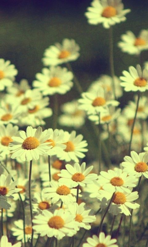 daisy wallpaper background phone galaxy s2 samsung