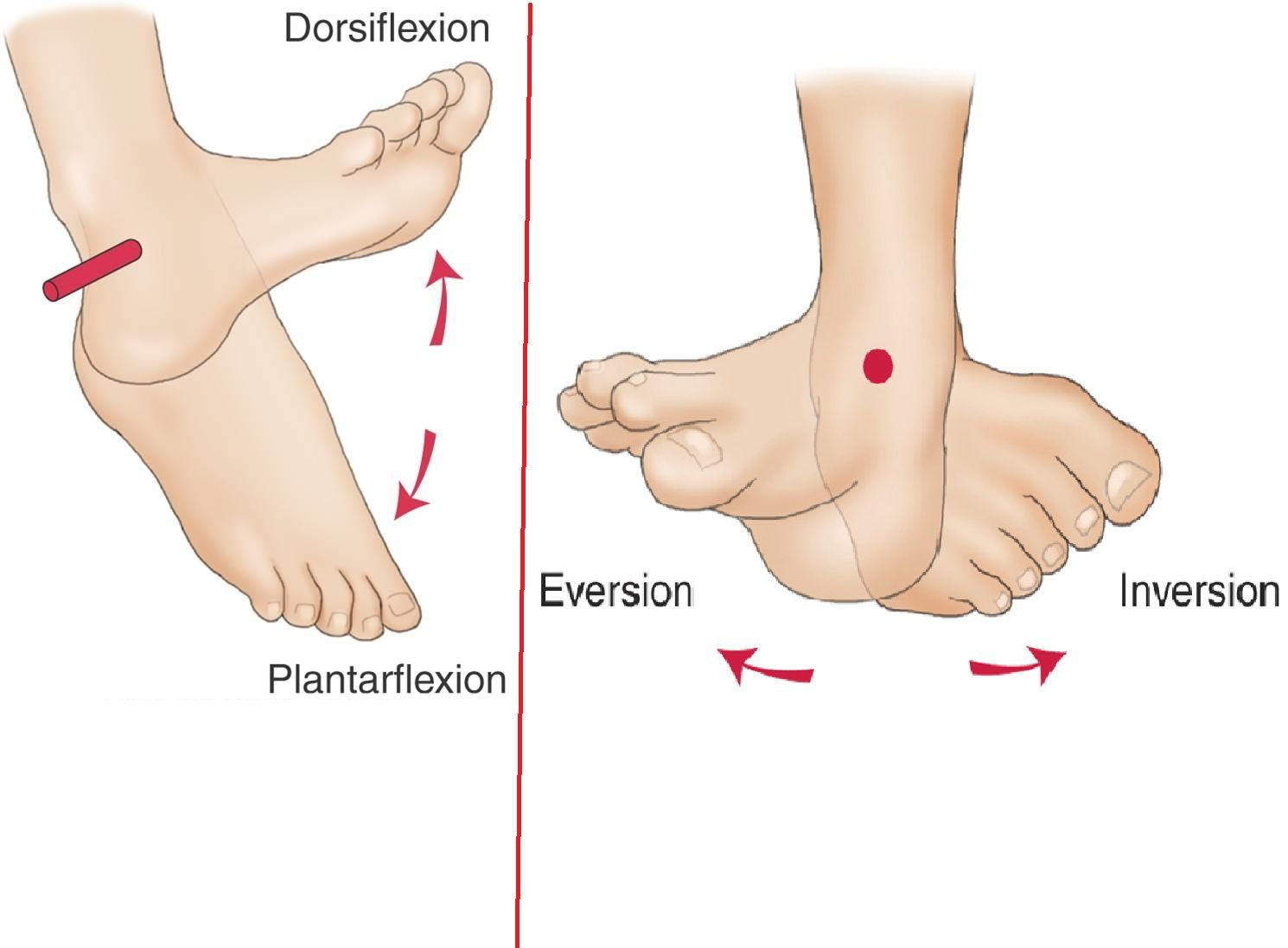 Image result for inversion foot | Anatomy | Pinterest | Exercises
