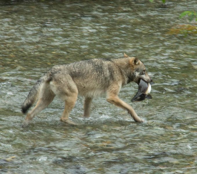 Wolf at Fish Creek Wildlife Observation site in Hyder, Alaska. They go fishing when the salmon run in July and August.
