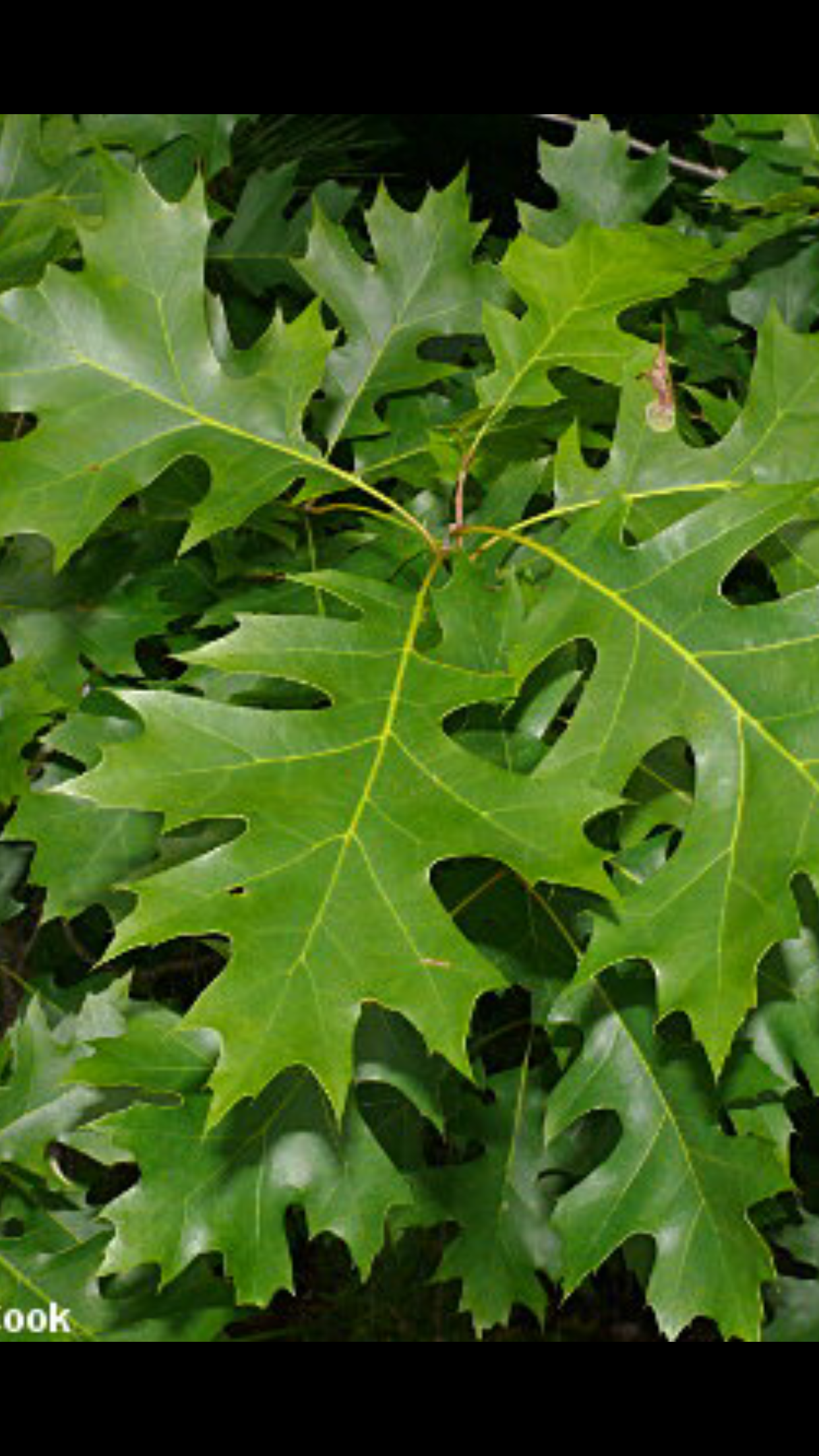 Quercus Shumardii Shumard Oak This is a red Oak priced for fall ...