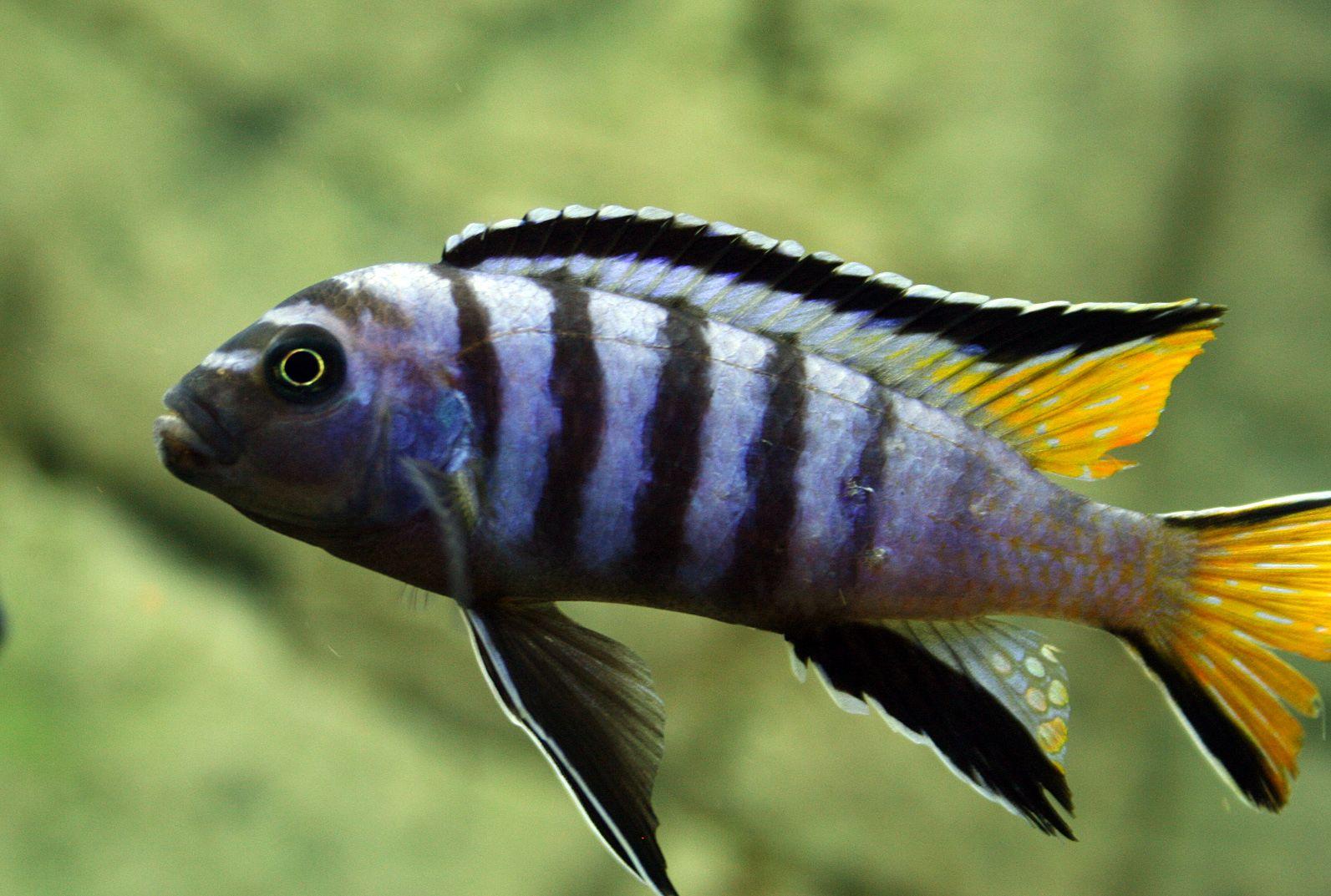 Pseudotropheus-elongatus-Chewere | African Cichlids ...