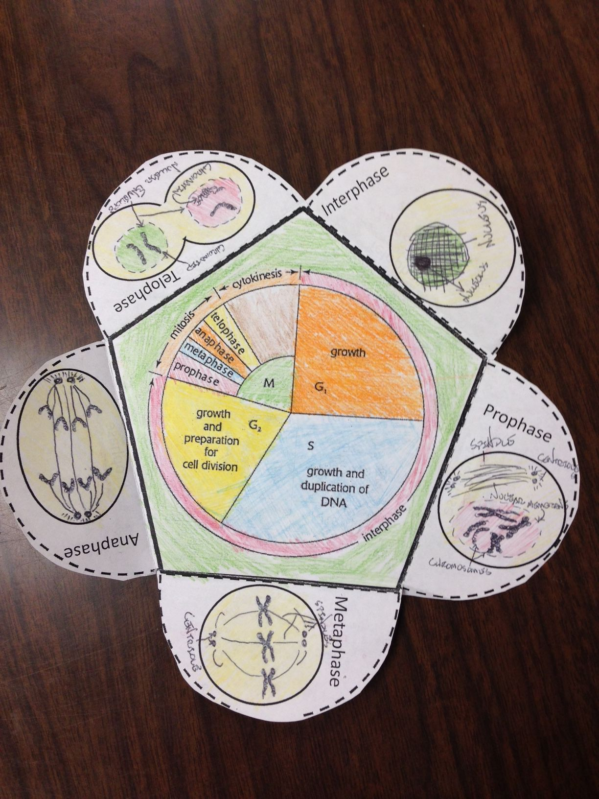 Cell Cycle Detailed Foldable
