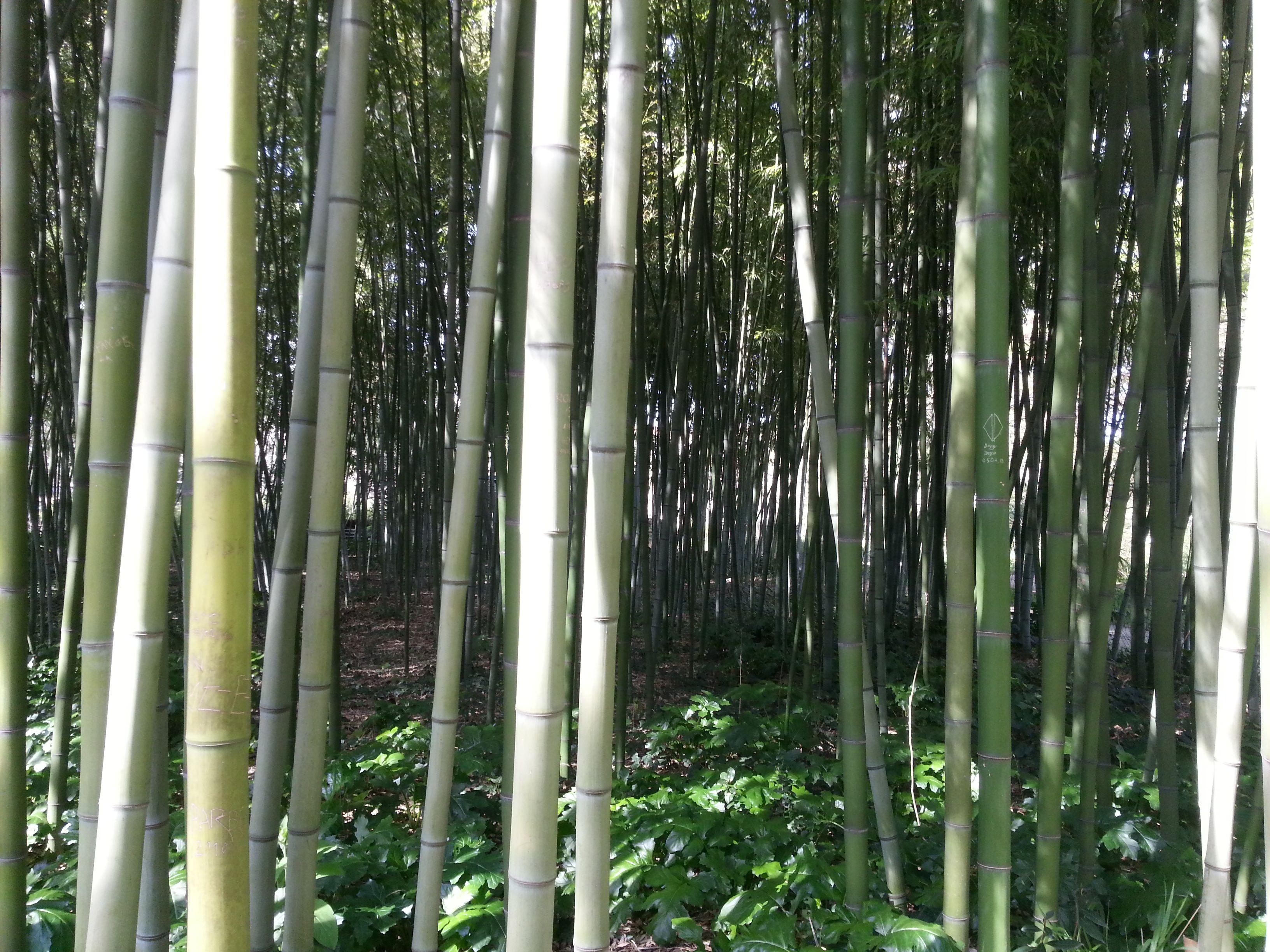 Bambous Jardin des Plantes Montpellier