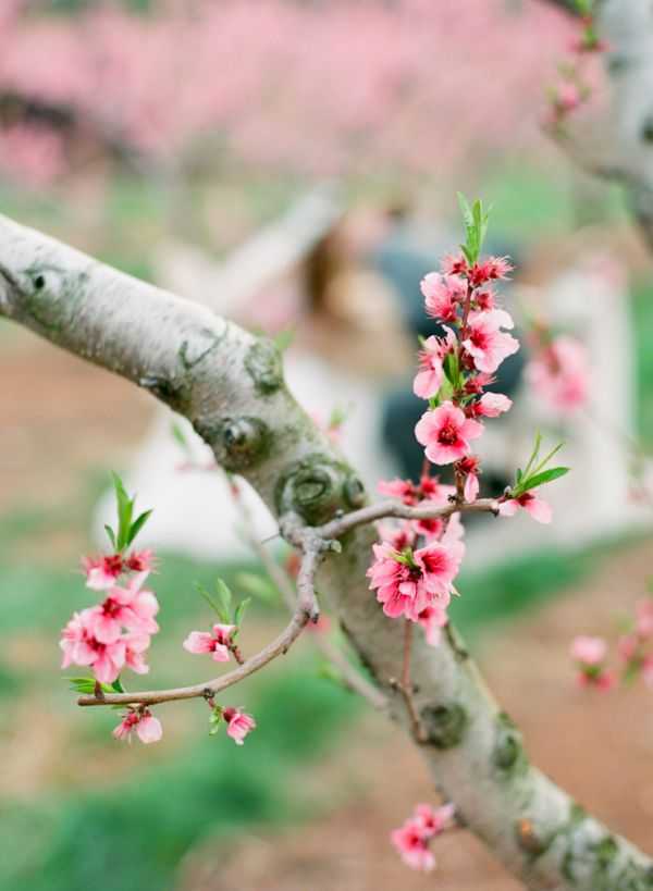 Virginia Orchard Bridal Inspiration From Jen Fariello Photography Cherry Blossom Images Cherry Blossom Branch Blossom Tree Wedding