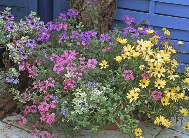 plantes de soleil pour jardini res estivales euphorbe verveine et jardini res. Black Bedroom Furniture Sets. Home Design Ideas