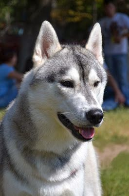 Among All Dog Breeds And Even Most Species The Siberian Husky Is