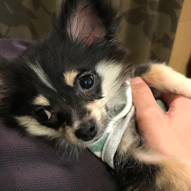 ❤︎*。 パパの胸の上で幸せそうな カーリーくん🐶🐶 #チワワ #Chihuahua#チワワ部 #10ワン10色親バカ会 #ロンチー #愛犬 #チワワ子犬 #生後4ヶ月