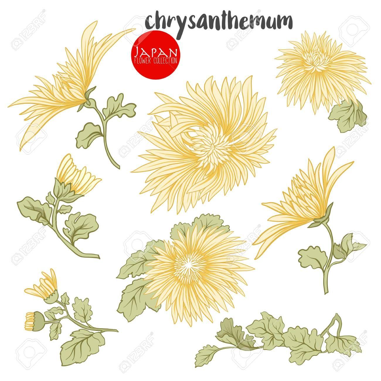 Chrysanthemum Flowers Stock Line Vector Illustration Botanic Flowers Sponsored Stock In 2020 Chrysanthemum Flower Chrysanthemum Vector Illustration