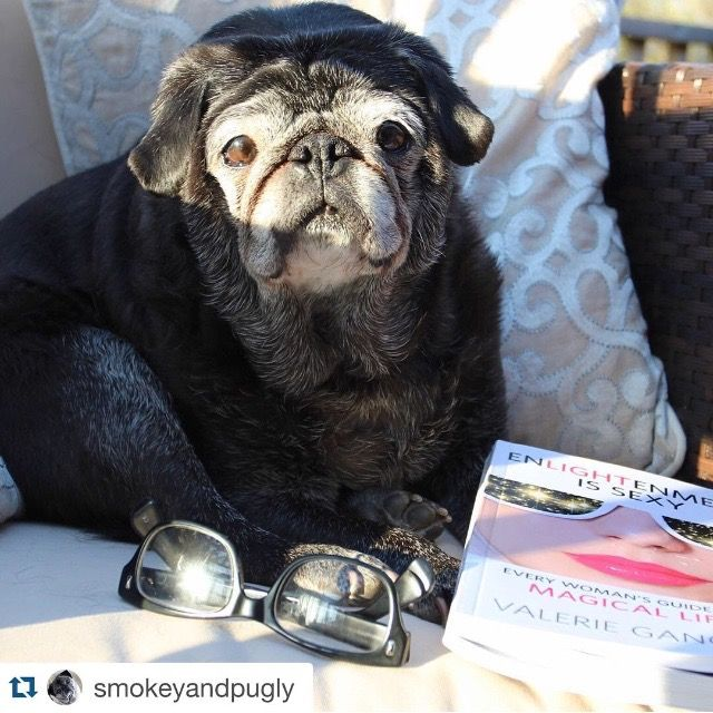 Glad to see sweet Pugly is getting his #reading in! You can order your copy of the #book on #Amazon: http://amzn.to/1PjxmjS | #Repost @smokeyandpugly with @repostapp. What's more important? Enlightenment or being sexy? -pugly #enlightenmentissexy #eisthebook | #pug #pup #dog #puglife #spirituality #meditation #truth #selfhelp #read #author #bestseller #mustlovedogs