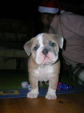Rare Blue Fawn English Bulldog With Images Cute Dogs Cute