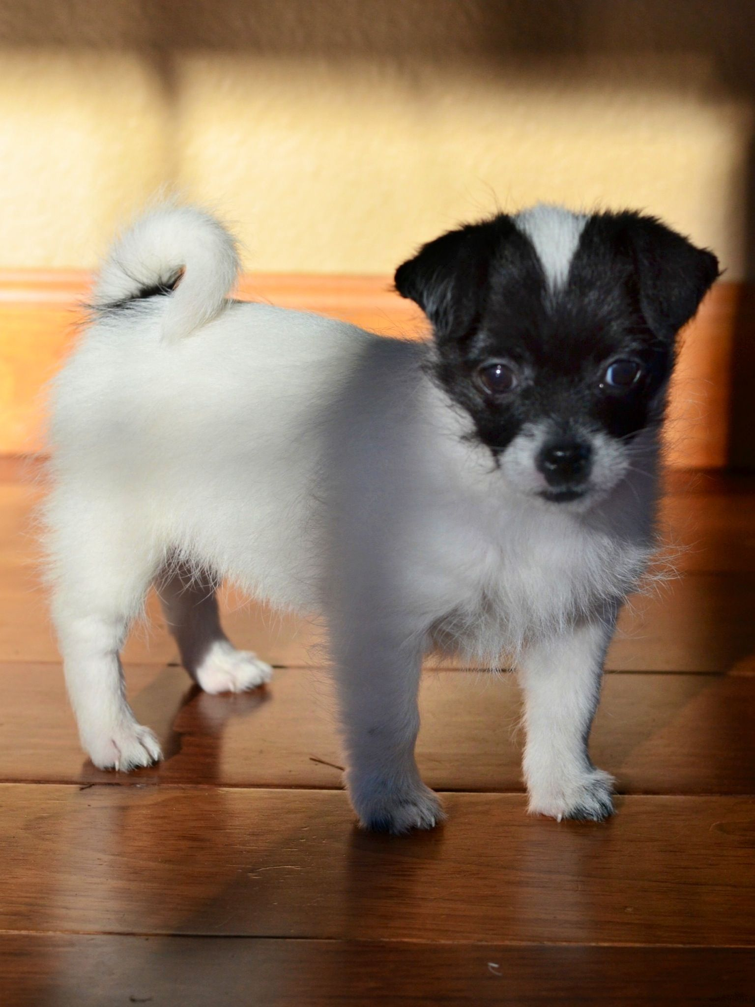 shitzu mix chihuahua shichi puppy shih tzu chihuahua mix animals pinterest 1208